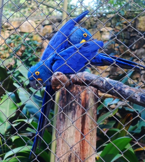 Sao Paulo Zoo, Hyacinth macaw, anodorhynchus hyacynthinus, birds