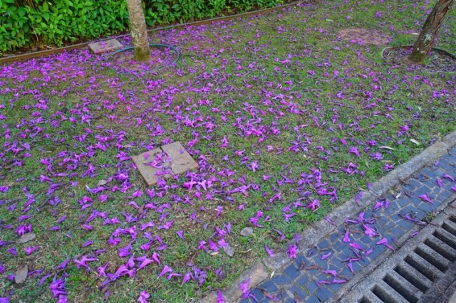 fallen flowers, blooms, spirng?, Southern Hemisphere winter