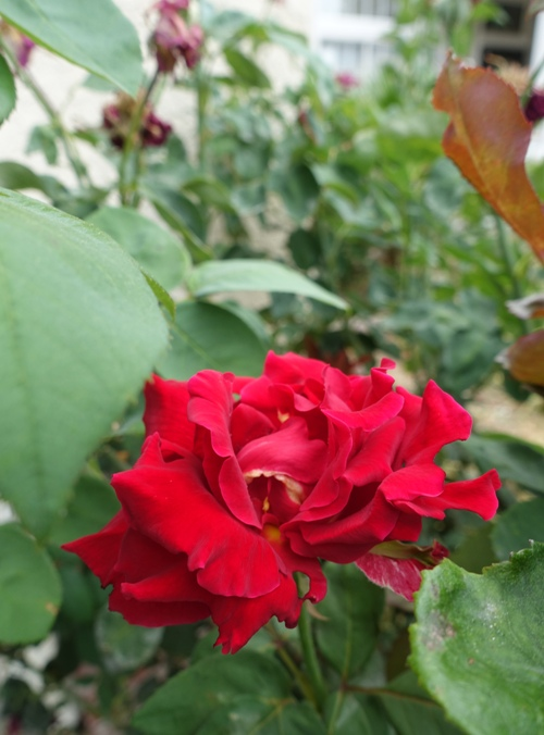 rose bush, Mr. Lincoln, hot weather, summer, yard work