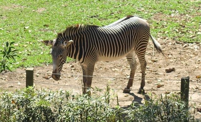 Grévy's zebra (Equus grevyi), imperial zebra, sao paulo zoo