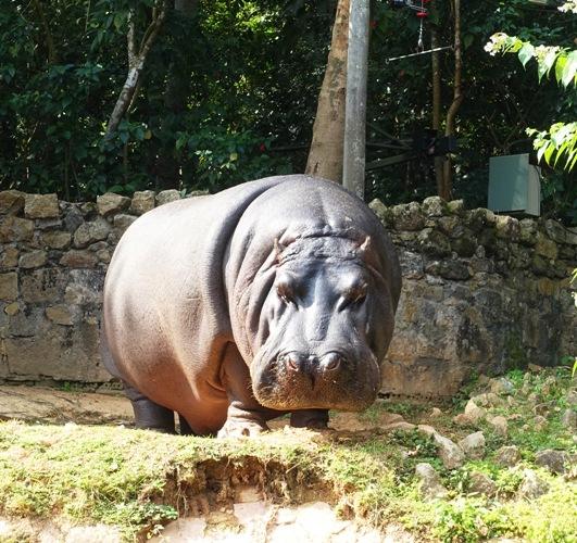 (Hippopotamus amphibius), hippopotamus, river horse, zoo, sao paulo zoo