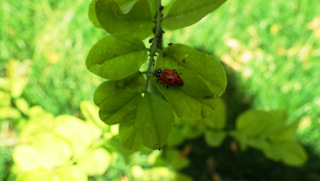 ladybug, tree leaf, yard work, back yard