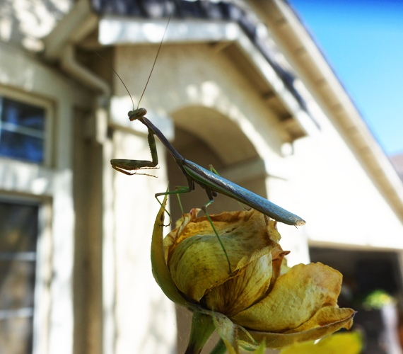 yard work, roses, pruning, praying mantis
