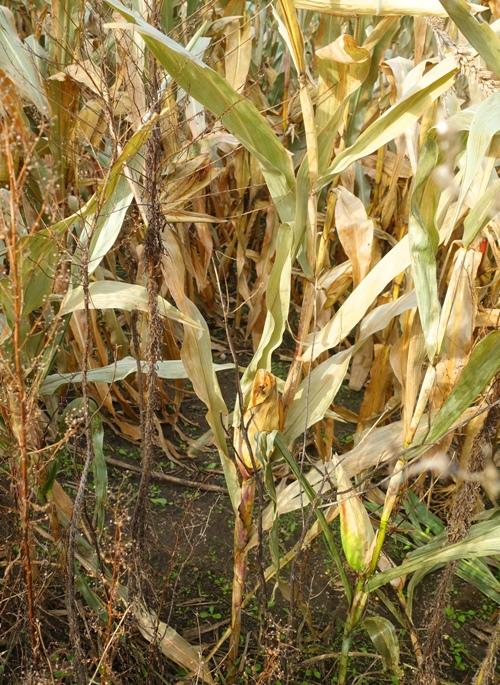 Iowa cornfield, ready for harvest, Iowa, corn, tall corn state
