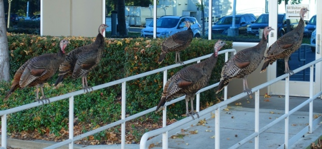 wild turkeys, roosting turkeys, thanksgiving, rafter of turkeys