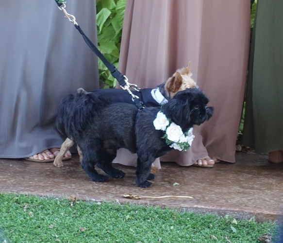dogs, grooms dogs, wedding