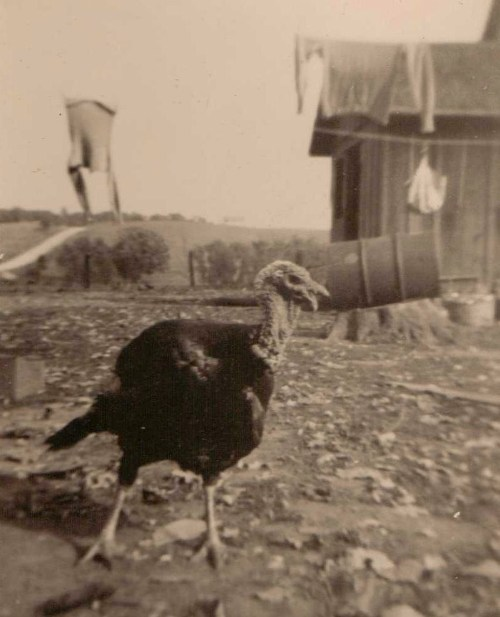 Iowa Barnyard, 1940's, Turkey, Fowl