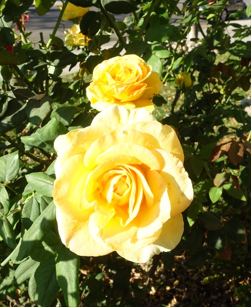Autumn, Roses, Red Roses, Yellow Roses, November Roses, California roses