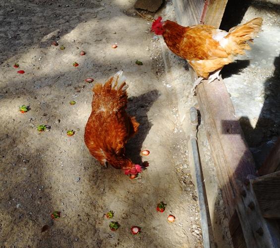 strawberry scraps, chickens, chicken run