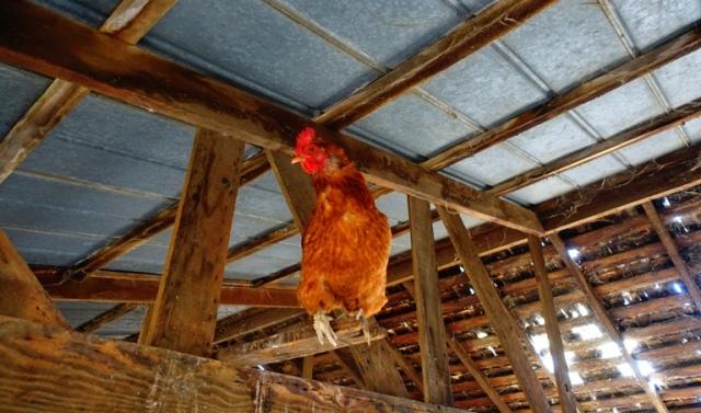 chicken, roosting, farm animals, barnyard