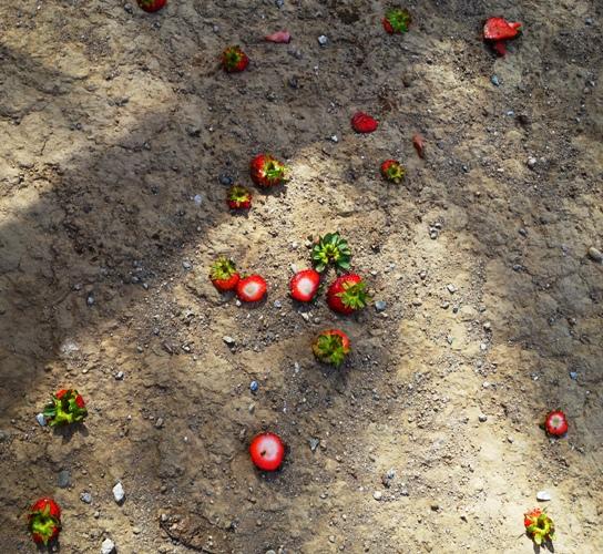 strawberries, scraps, chicken feed, treat for chickens