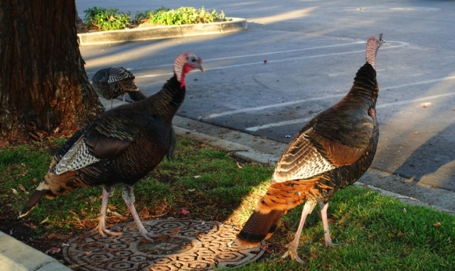 turkeys, Thanksgiving, November, Dublin, California