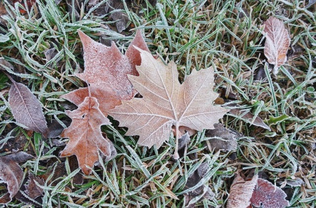 frost, leaves, winter, autumn, frosty, leaves