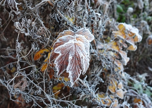 leaves, frost, winter, cold, foilage