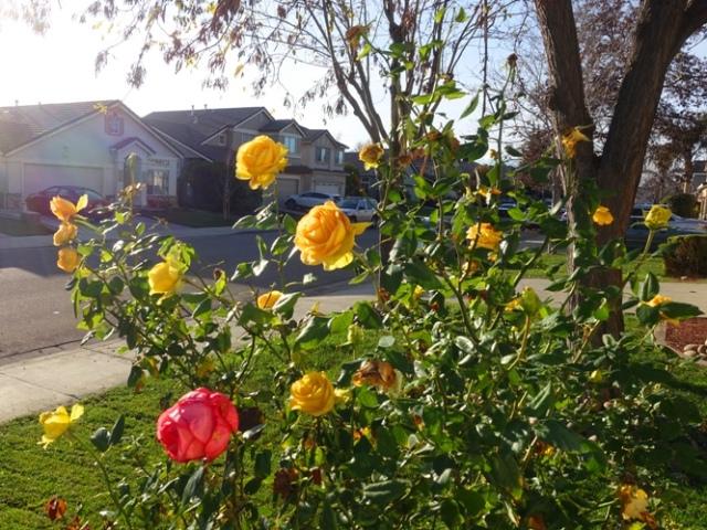 yellow roses, rose bushes, december, winter