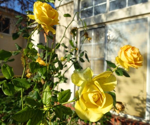 Winter roses, yellow roses