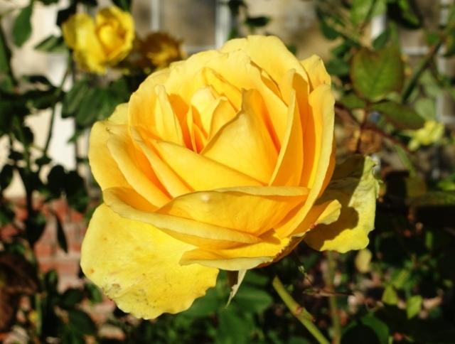 yellow roses, winter roses, december roses