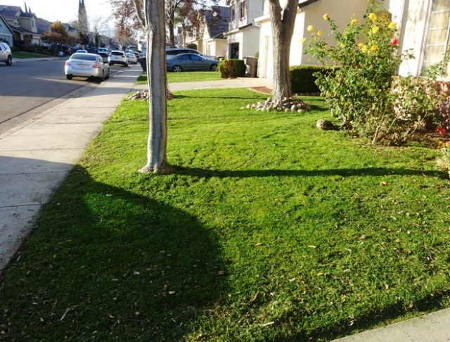 Mowing, yard, roses, shadow, green grass in winter