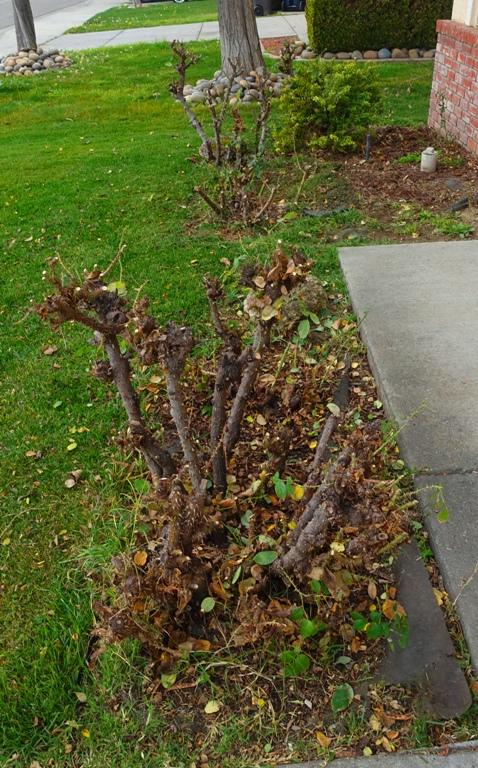 Pruning roses, January, yard work, roses, yellow roses