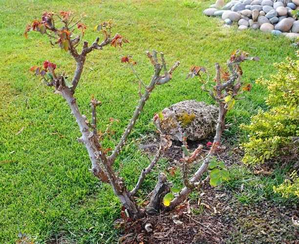 roses, new growth, growing back, rose bushes