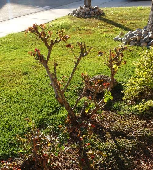 rose garden, growing back rose bushes, leaves