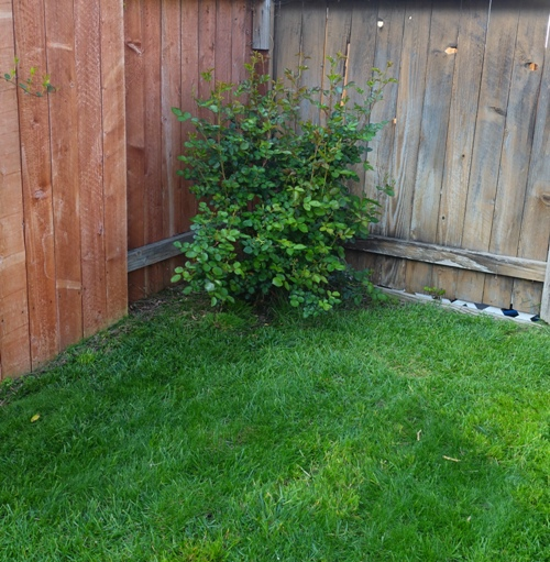 backyard rose bush, fence corner, mowed lawn
