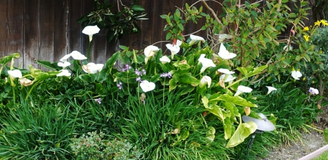 lilies, cala lilies, spring, hope