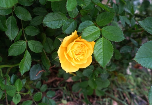 first rose, miniature rose, rose garden