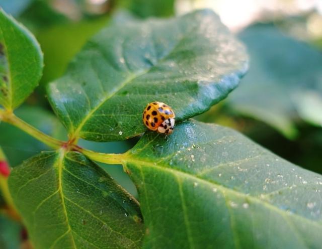 ladybug, orange ladybug, roses, Harmonia axyridis