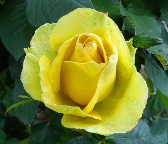 Opening rose, st. Patrick rose, yellow rose, rose garden