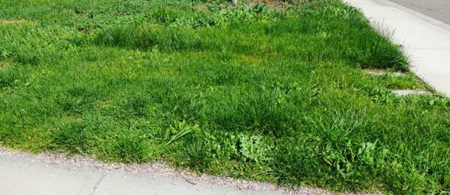 weeds, side yard, tall grass, green grass spring