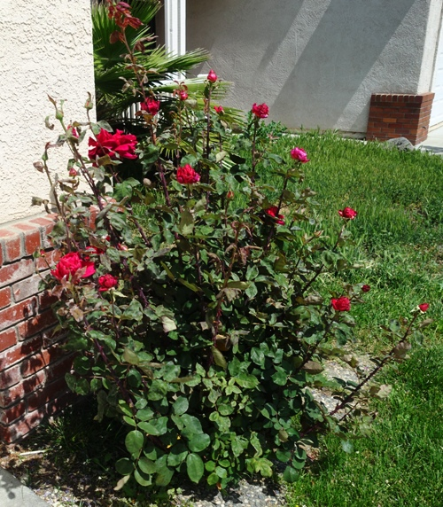 Mister LIncoln rose, red rose, fragrant rose, first red roses, rose garden