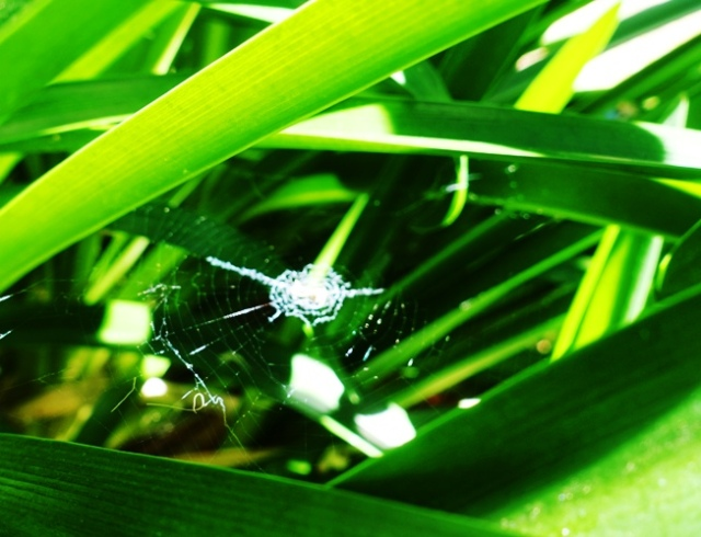 agapanthus, spider web, spiders, backyard