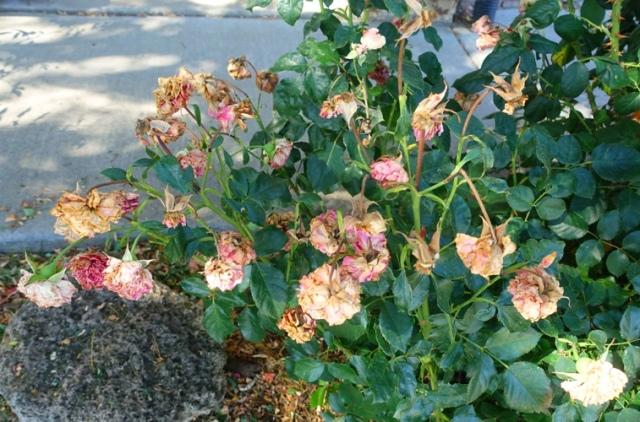 pink roses, floribunda, rose garden, cleaning up roses