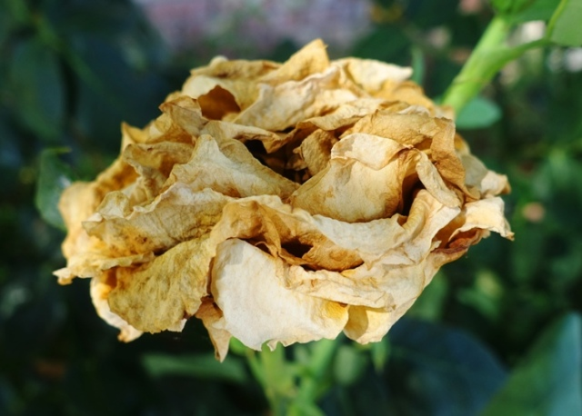 dried out rose, parchment rose, st. patrick rose