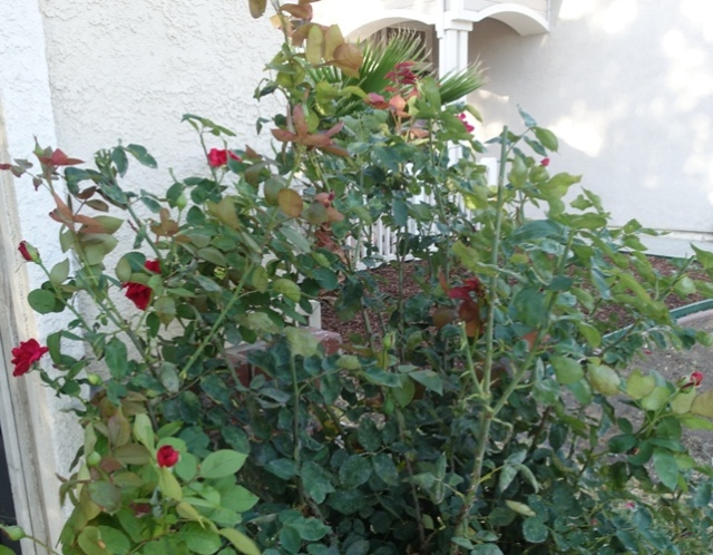 mister lincoln rose, red roses, yardwork