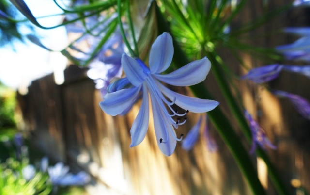 agapanthus, flower, petals, backyard