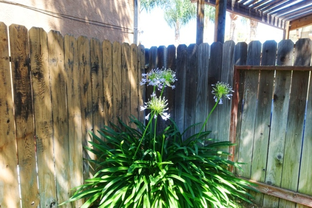 agapanthus, yard, flowers, backyard