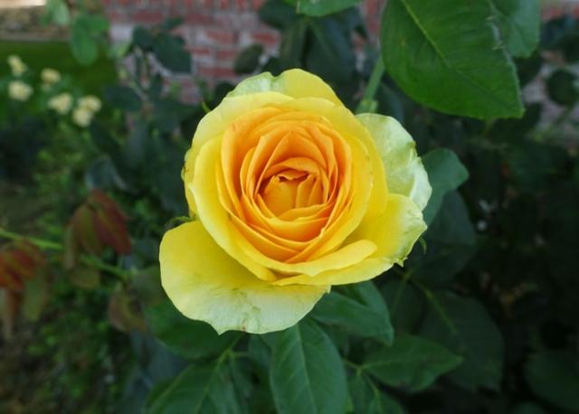green rose petals, st. patrick rose, yellow rose, rose garden