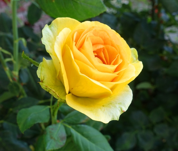 St. Patrick Rose, green petals, rose, yellow rose