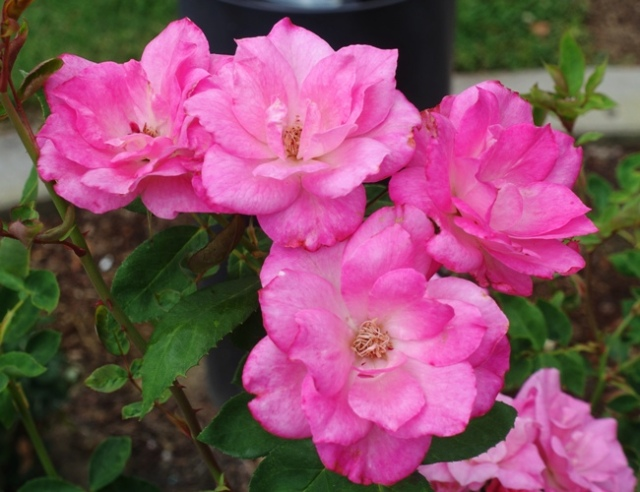 Tracy community rose garden, roses, garden, blooms