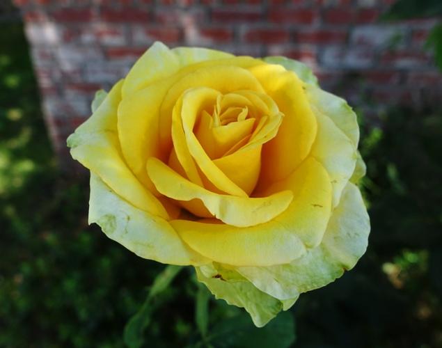St. Patrick Rose, Yellow Rose, Green Rose, rose bushes