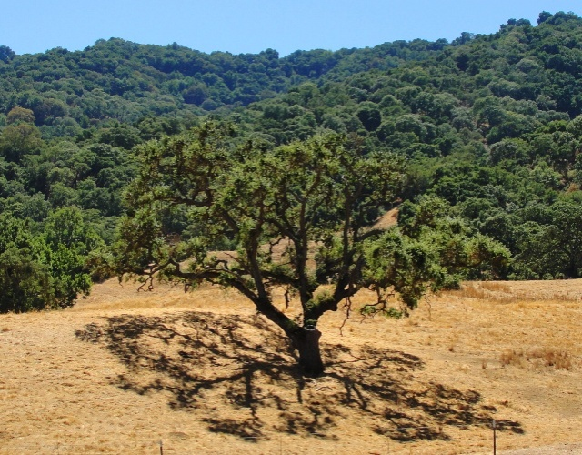 Oak tree, california, shadows
