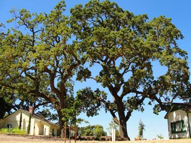 Alviso Adobe Park, Pleasanton California, Oak Trees