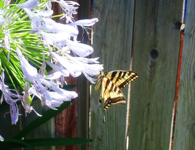 Papilio rutulus, western tiger swallowtail, butterfly
