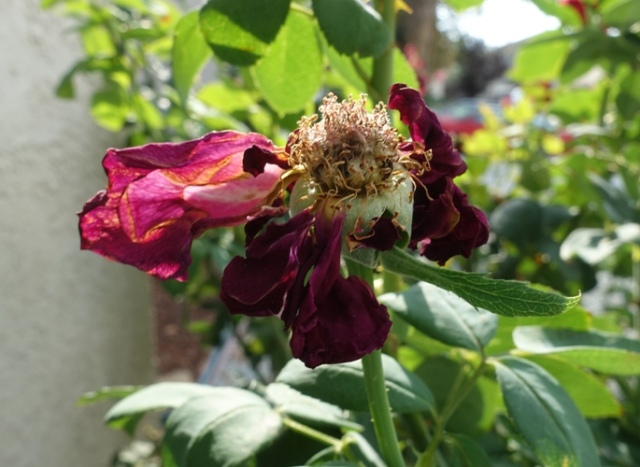 dried out rose, high heat, yard work, rose