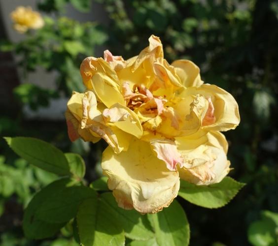 yellow rose, 100 degree roses, yard work