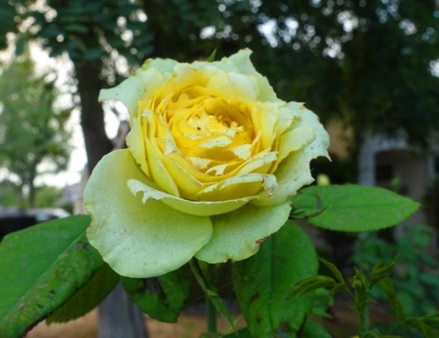 high heat, rose, st. patrick, 100 degrees
