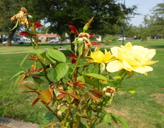 Tracy community rose garden, roses, park, library