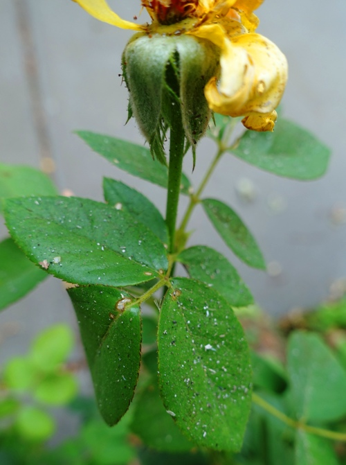rose bush, ash on leaves, smoky air
